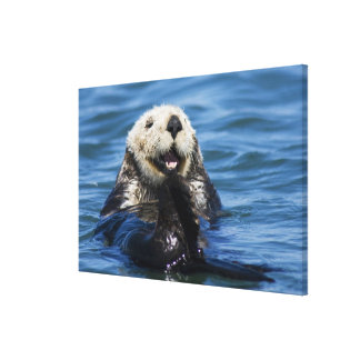 California Sea Otter Enhydra lutris) grooms Gallery Wrapped Canvas