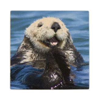 California Sea Otter Enhydra lutris) grooms Maple Wood Coaster