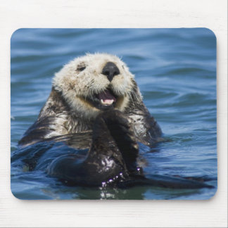 California Sea Otter Enhydra lutris) grooms Mouse Pad