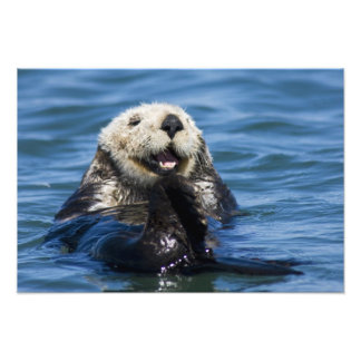 California Sea Otter Enhydra lutris) grooms Photo Print