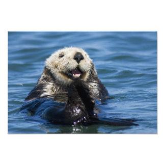 California Sea Otter Enhydra lutris) grooms Photographic Print