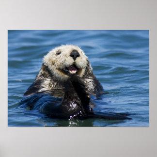 California Sea Otter Enhydra lutris) grooms Poster