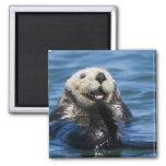 California Sea Otter Enhydra lutris) grooms Square Magnet