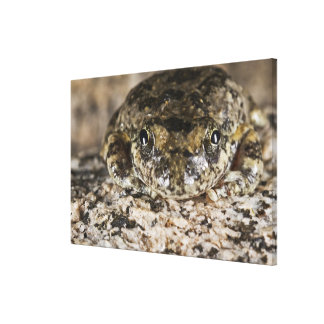 California tree frog,(Pseudacris cadaverina), Canvas Print
