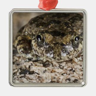 California tree frog,(Pseudacris cadaverina), Christmas Ornament