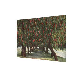 CaliforniaGroves of Pepper Trees Stretched Canvas Print