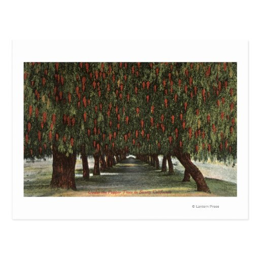 CaliforniaGroves of Pepper Trees Post Card