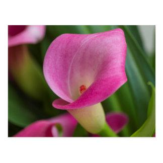 calla lily in the garden postcard