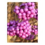 Callicarpa bodinieri (pink) - Postcard