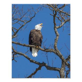 Calling Bald Eagle Photo