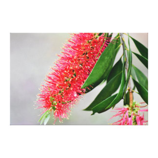 CALLISTEMON BOTTLE BRUSH FLOWER AUSTRALIA CANVAS PRINT