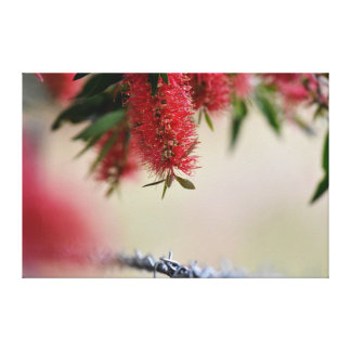 CALLISTEMON BOTTLE BRUSH IN RURAL AUSTRALIA CANVAS PRINT