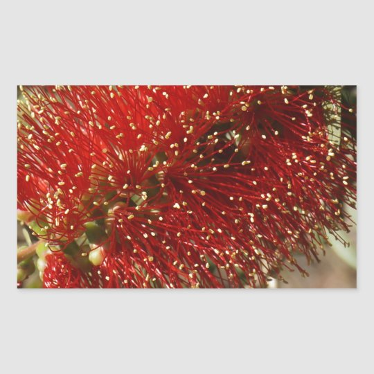 CALLISTEMON RED BOTTLE BRUSH TREE FLOWER AUSTRALIA RECTANGULAR