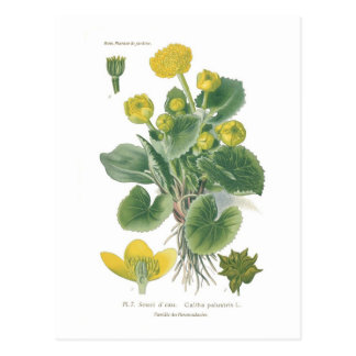 Caltha palustris (Marsh marigold) Postcard