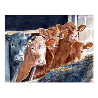Calves at Brunch Postcards