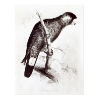 Calyptorhynchus Baudinii, or Baudin's Cockatoo Postcard