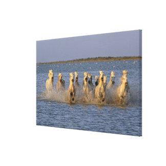 Camargue Horse (Equus caballus) Canvas Print