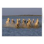Camargue Horse (Equus caballus) Greeting Card