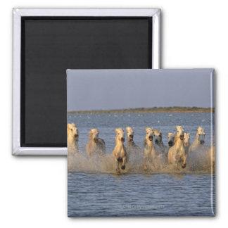 Camargue Horse (Equus caballus) Square Magnet