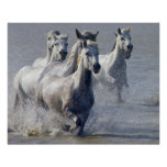Camargue horses running on marshland to cross poster