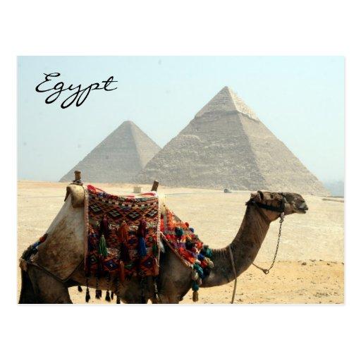 camel egypt pyramid post card