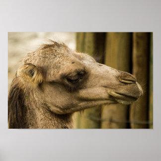 Camel face close-up poster
