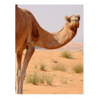 Camel for Arabs Postcard