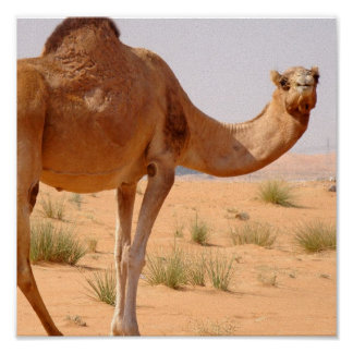 Camel for Arabs Poster Print