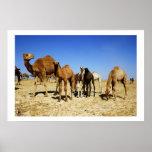 Camel herd print