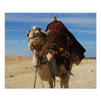 Camel in Egypt cute animal travel photo Poster
