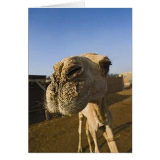 Camel market, Cairo, Egypt Card