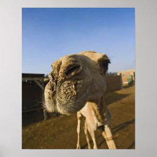 Camel market Cairo Egypt Print