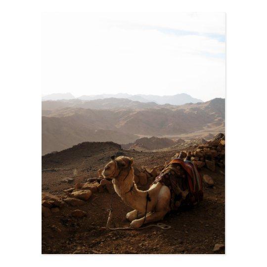 Camel on Mount Sinai Postcard