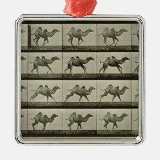 Camel, plate from 'Animal Locomotion', 1887 (b/w p Christmas Ornament