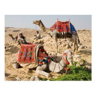Camel Postcard