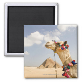Camel with Pyramids Giza, Egypt Square Magnet