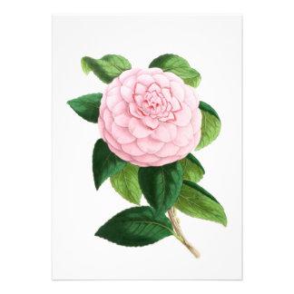 Camellia Duchesse De Nassau Announcements
