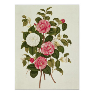 "Camellia  from ""A Monograph on the Genus' Poster"