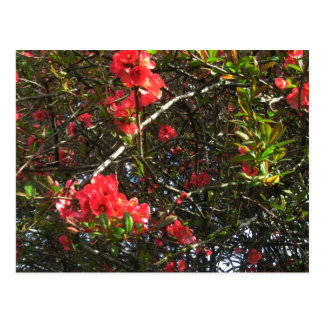Camellia, photograph postcard