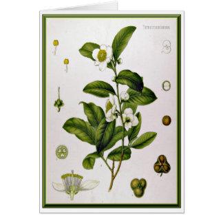 Camellia Sinensis (Tea Tree) Greeting Card