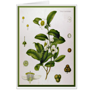 Camellia Sinensis (Tea Tree) Greeting Card