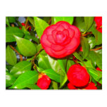 Camellias in Bloom Post Cards