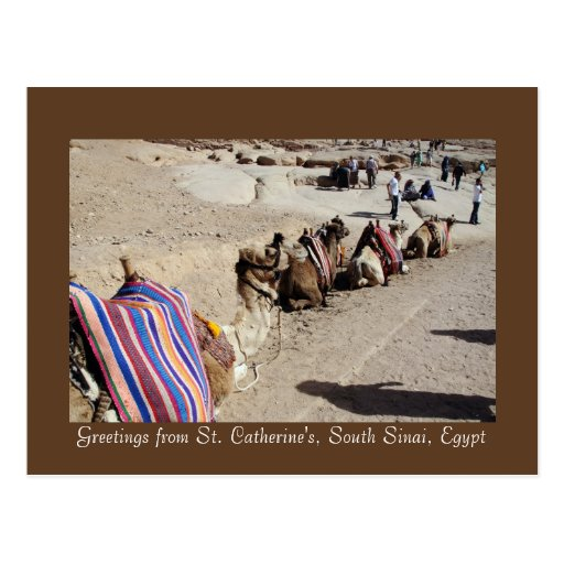 Camels at St. Catherine's Postcard