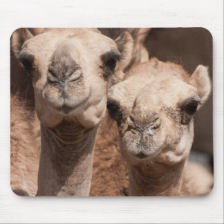 Camels at the Camel market in Al Ain near Dubai Mouse Pad