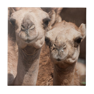 Camels at the Camel market in Al Ain near Dubai Small Square Tile