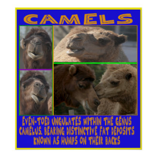 CAMELS - even-toed ungulates CANVAS PRINT