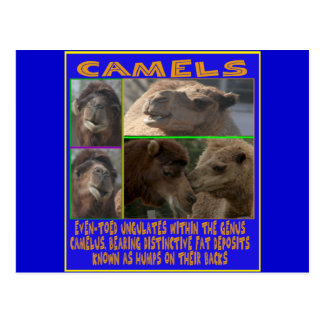 CAMELS - even-toed ungulates Postcard