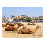 Camels in Doha Post Card