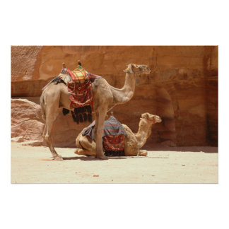 Camels in Petra Poster