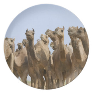Camels in the desert, Pushkar, Rajasthan, India Plate
